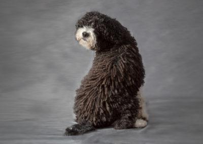 Perro de agua Tuc