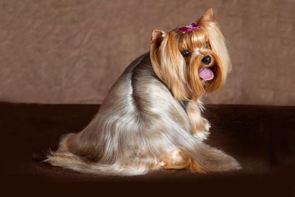 Yorkshire terrier Yorki